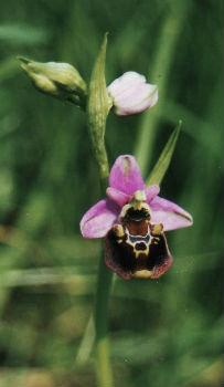 L`Orchidée Home - L`orchidée bourdon - Haute-Marne